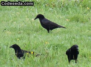 corvus-corax-cuervo-corneja-negro-galicia