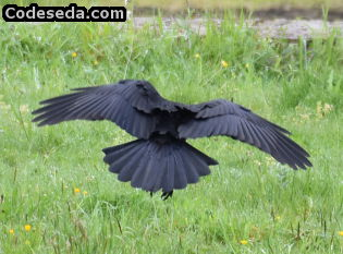 cuervo-corneja-negro-galicia-corvus-corax