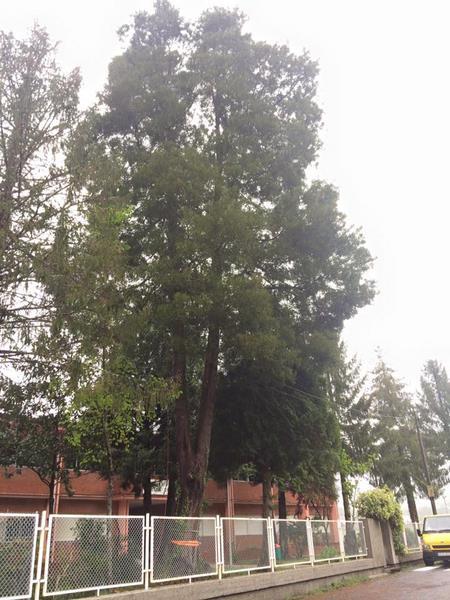 galicia-a-estrada-poda acacia-trabajos-altura-poda-jardines-piorno-1