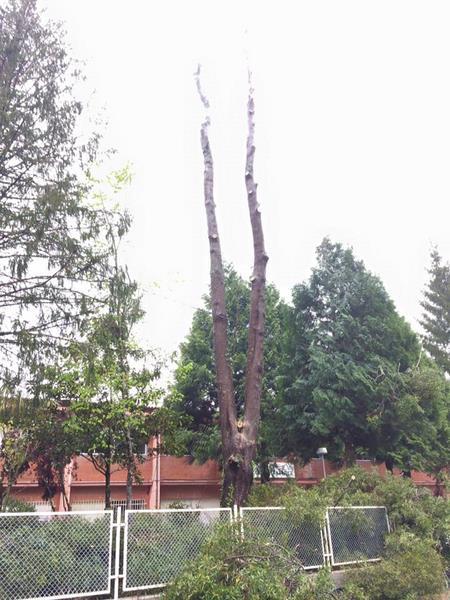 galicia-poda acacia-trabajos-altura-arboles-jardines-piorno-3