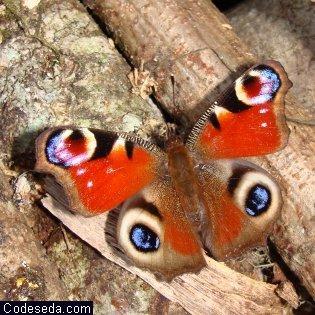 mariposa-inachis-io