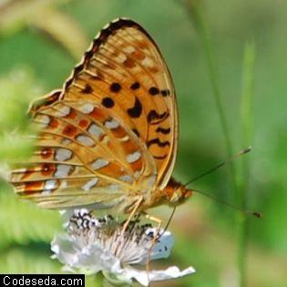 mariposa-naranja