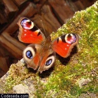 mariposa-pavo-real