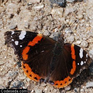 mariposa-vulcana