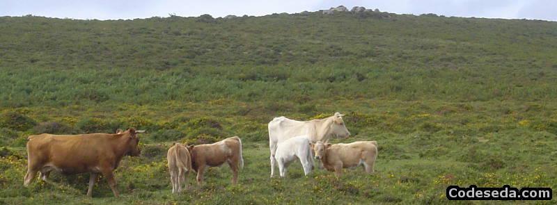 vacas-galicia-salvajes-monte-bravas