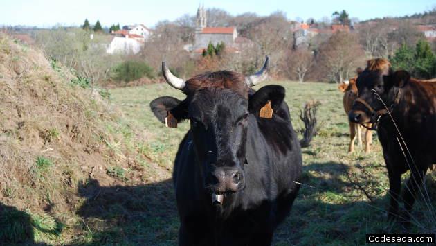 vacas-iglesia