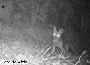 zorro-galicia-a-estrada-raposo-salvaje