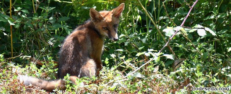 zorro-raposo-galicia-Vulpes-vulpes